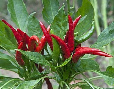 peperoncino rosso